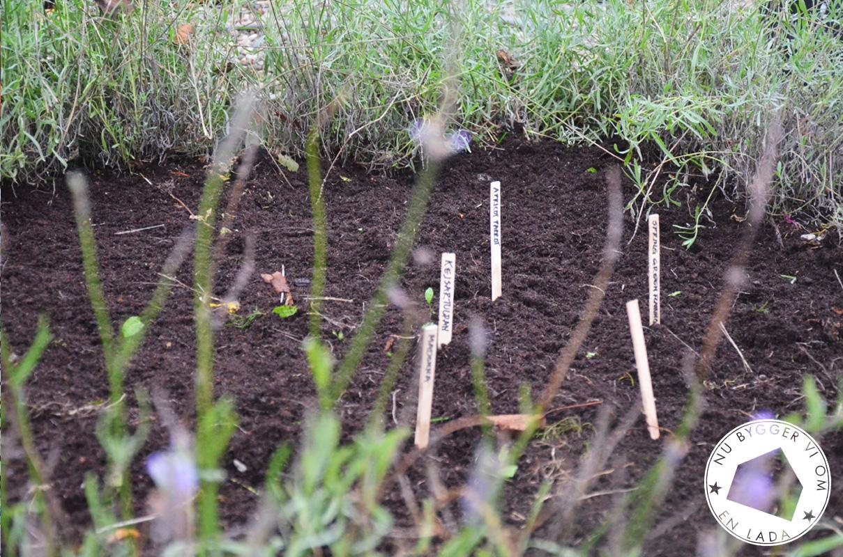 tulpanplantering04
