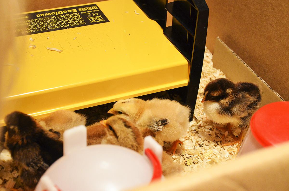 kycklingar01