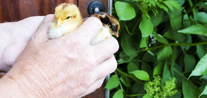 kycklingar04
